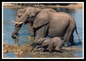 Mother & baby elephant. (Sharon Pincott photo)