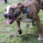 Pit bull offered for adoption by the Associated Humane Societies' Tinton Falls shelter.