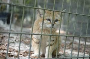 Sand cat at Big Cat Rescue. (Belt Clifton photo)