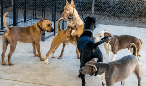 "All six dogs shown in this ""playgroup"" photo from Aimee Sadler's dogsplayingforlife.com web site are in ANIMALS 24-7's view engaging in potentially dangerous behavior, to varying degrees, none of which should be considered acceptable at a dog park or other public place."
