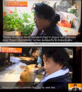 Outtakes from a Japanese television report about the animals left behind in the Fukushima evacuation zone,  three years after the nuclear disaster.  Many of the evacuees,  like this woman,  would bring their pets into their emergency resettlement housing if they were allowed to do so.