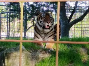 BCR tiger in cage by Beth