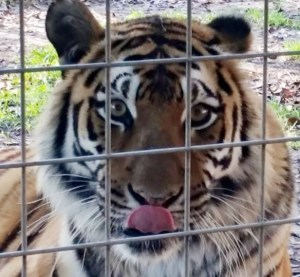 Tiger licks lips at Big Cat Rescue. (Beth Clifton photo)