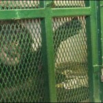 Courts rule that orangutan in Argentina has more rights than chimp in New York state