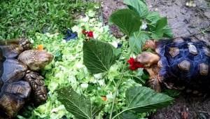 Tortoises enjoy new facilities at ACRES sanctuary. (ACRES photo)