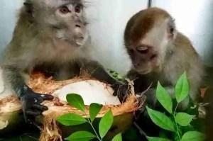 Two urban macaques. (Louis Ng photo.)