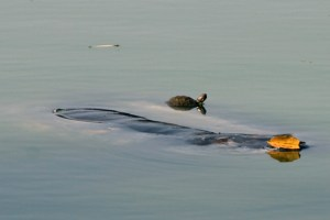 Ca Rua floating with a smaller turtle on his back. (Photo by VNExpress/Vu Long)