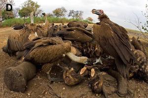 Vultures scavenge dead elephant. (Wikipedia)