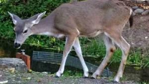 Walking deer