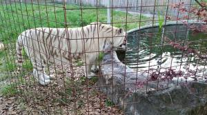 This Big Cat Rescue white tiger wasn't driven to drink––he walked across a big field. (Beth Clifton photo)