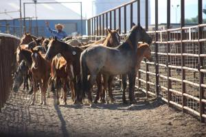 (American Wild Horse Preservation campaign photo)