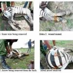 Zebra rescuers earn their stripes