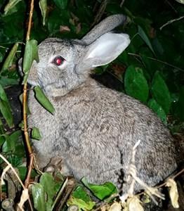 Wild rabbit. (Beth Clifton photo)