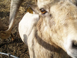 Bighorn sheep. (WSU photo)