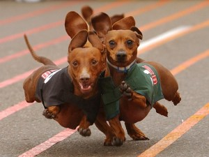 Dachshunds in training