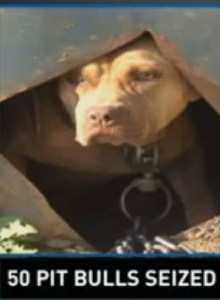 Pit bull impounded in Sevierville.  (WBIR)