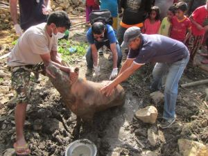 Animal Nepal pig rescue