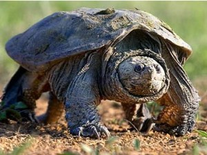 Snapping turtle.  (USGS)