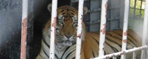 Tony the truck stop tiger. (Animal League Defense Fund photo)