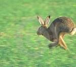 running-hare-thumb2105995-150x150