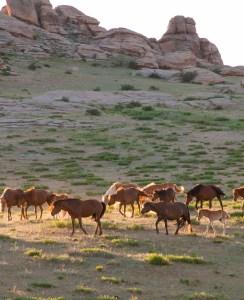 Hästar på väg ner från bergen på kvällen. Syntes överallt var kväll.