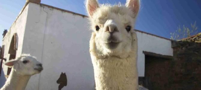 Experience Alpacas in Andalucia