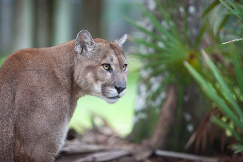 """panthers conservation panther florida"""