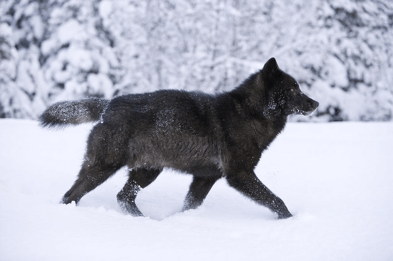 Here 39 s why fws thinks southeast alaska wolves are not for Black wolf fish