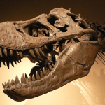They found a T-rex! A fossil was discovered in Montana