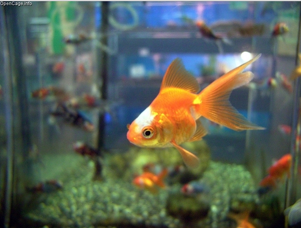 Choking Goldfish Gets Emergency Pebble Extraction