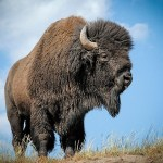 Origins of the bison discovered through Ice Age Cave Paintings
