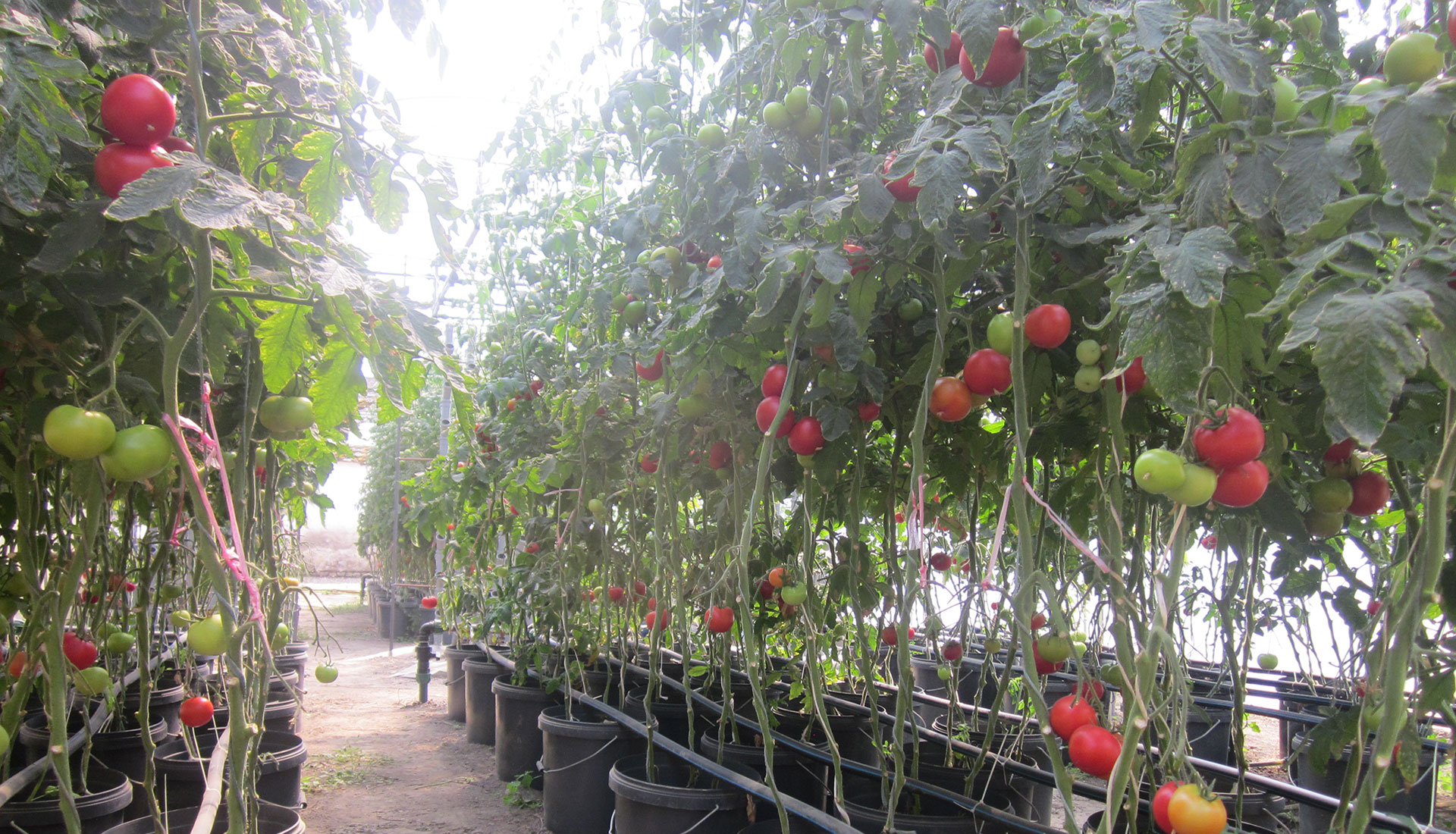 Smothery Aquaponic System Header Roma Tomato Plant Spacing Indeterminate Tomato Plant Spacing How To Grow Tomato houzz-03 Tomato Plant Spacing