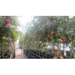 Small Crop Of Tomato Plant Spacing