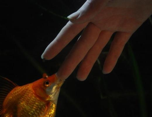 Or try to eat your hand altogether! Photo by Goldfishdoctor.