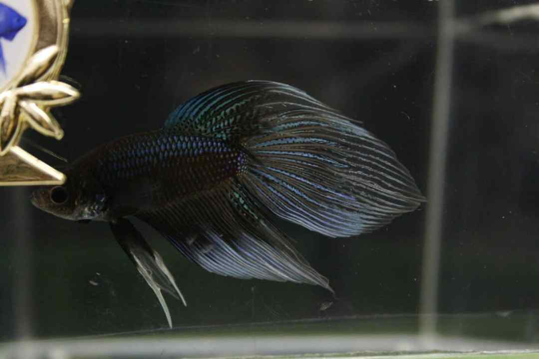 Betta fish types aquariadise for Why fish is bad for you