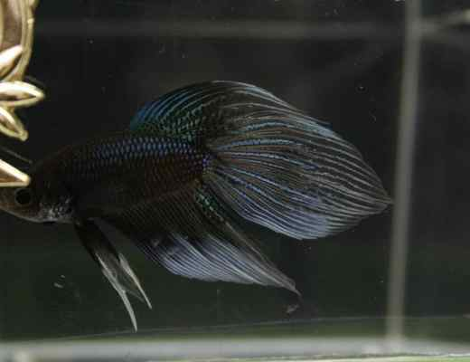 Betta fish names aquariadise for Beta fish names