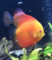 Discus for Sale at Aquarist Classifieds