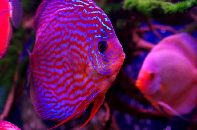 Freshwater Aquarium Fish Uk Freshwater Tropical Fish