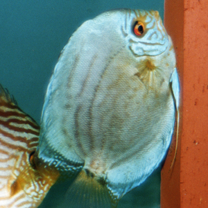Female Cobalt Blue Discus laying eggs (left), male Heckel Discus with