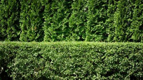 Imposing Learn How To Plant A Privacy Hedge Sharon Hedge Sharon Hedge Pruning Rose How To Plant A Privacy Hedge Rose Winter