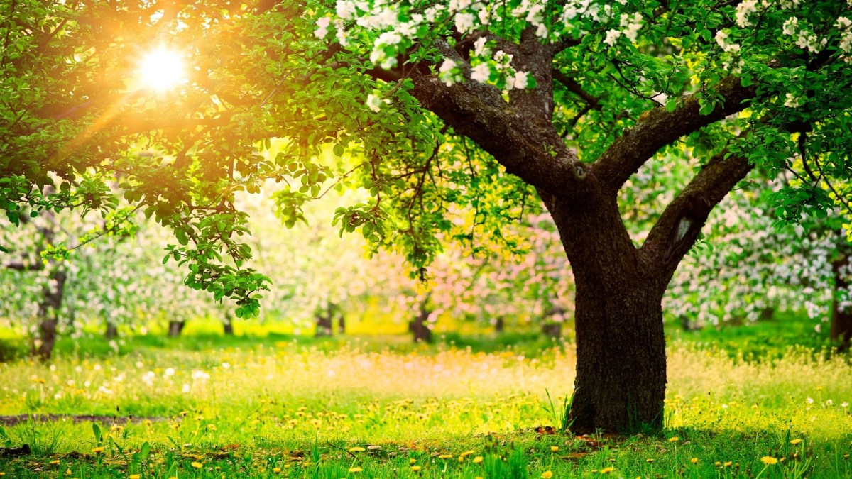 Spring-sun-nature-trees-apple-trees-dandelions-gardenua-54832-1