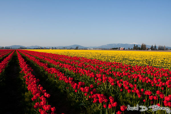 Field of red and yellow
