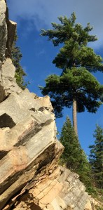Majestic white pine