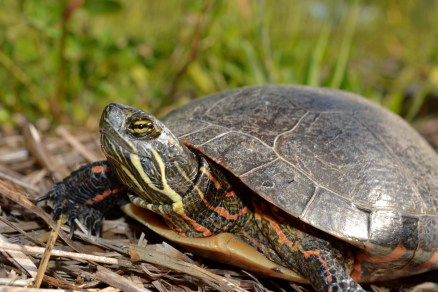 Mother turtle taking care of her work laying eggs in Tim's yard. (Definitely NOT on our task list!)