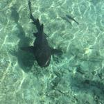 and have seen several Nurse Sharks, although these ones ...