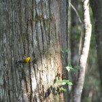 Tim was thrilled spot this prothonotary warbler when poking about in the cyprus swamp.