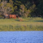 The wild horses were lovely to watch - this photo was taken while sitting in our cockpit at anchor in Beaufort, NC.