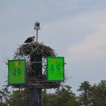 Nesting in most ICW markers, raising their brood on these waters, literally staking claim to the waterway. We will forever associate ospreys with the ICW.