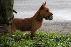 Genial Litter Born November 2010 Arista Australian Terriers Washington Australian Terrier Breeders Australian Terrier Breeders Australian Terrier Puppies Australian Terrierbreeders
