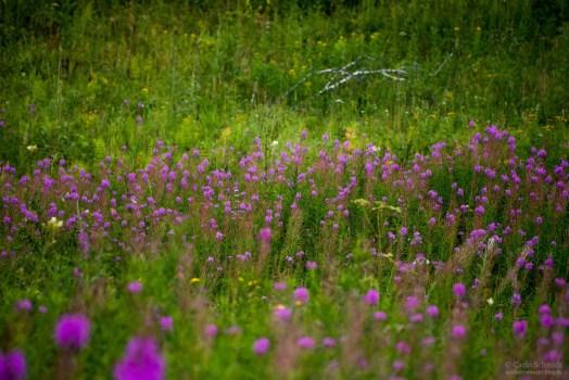 Blumen in Sibirien